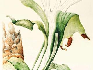 Platycerium bifurcatum, Pearl Bostock, 2013