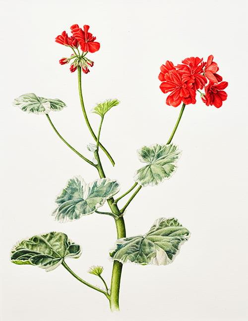 Pelargonium x hortorum 'Caroline Schmidt', Sara Bedford, 2013