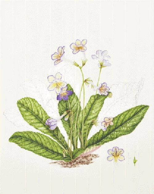 Streptocarpus 'Seren', Carolyn Dimond, 2014