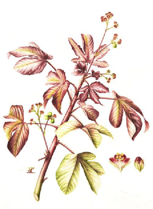Jatropha gossypifolia, Leigh Ann Gale, 2014
