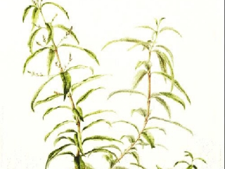 Aloysia triphylla, Lucinda Grant, 2014