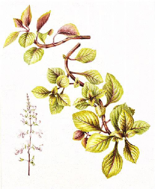 Plectranthus ciliatus 'Easy Gold', Lesley Ann Sandbach, 2014