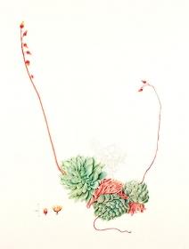 Echeveria elegans, Carolyn Dimond, 2015