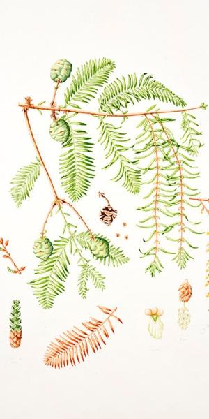 Metasequoia glyptostroboides, Lydia Holden, 2015