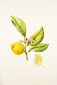 184 Citrus limon, Pearl Bostock 2015