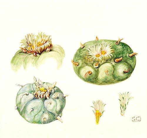 Lophophora diffusa, Sheila Clarke, 2015