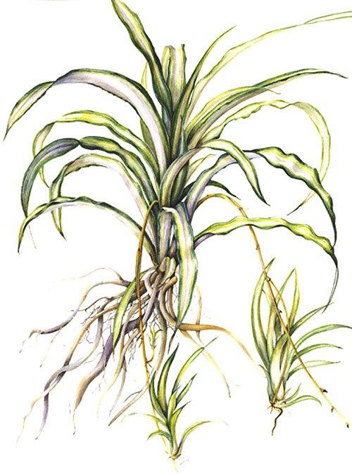 Chlorophytum comosum 'Variegatum', Susan Conroy, 2011
