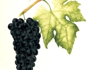 Vitis vinifera 'Schiava Grossa', Jan Gibbs, 2011