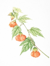 Abutilon 'Orange Glow', Leigh Ann Gale, 2006