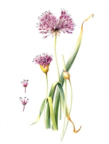 Allium 'Purple Sensation', Shirley Gumpel, 2006