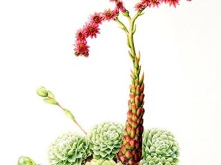 Sempervivum arachnoideum, Leigh Ann Gale, 2007