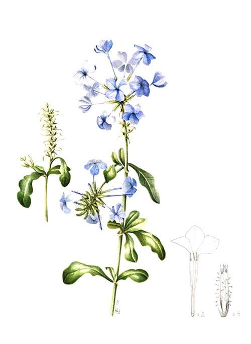 Plumbago auriculata 'Blue Escapade', Lesley Ann Sandbach, 2008