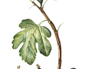Ficus carica, Maggie Cartmell, 2008