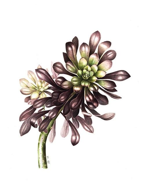 Aeonium arboreum 'Zwartkop', Lesley Ann Sandbach, 2008