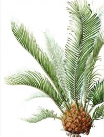Cycas revoluta, Shirley Slocock, 2008