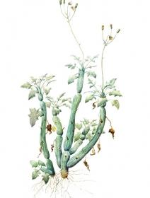 Senecio articulatus, Anne Whiteside, 2008