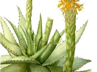 Aloe microstigma, Jackie Copeman, 2009