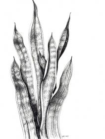 Sanseveria trifasciata, Susan Conroy, 2009
