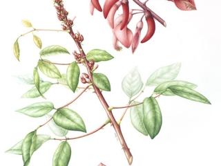 Erythrina christa-galli, Leigh Ann Gale, 2009