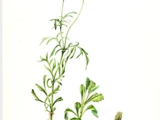 Scabiosa atropurpurea, Lucinda Grant, 2009