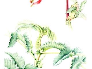 Melianthus major,  Annie Patterson, 2005