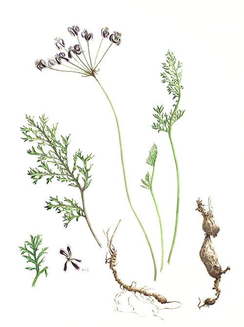 Pelargonium triste, Judith Golder, 2009