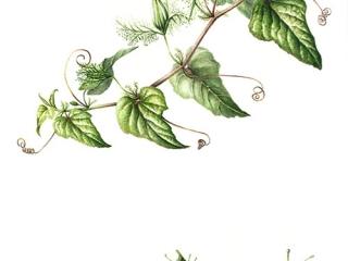 Passiflora foetida, Lesley Ann Sandbach, 2009