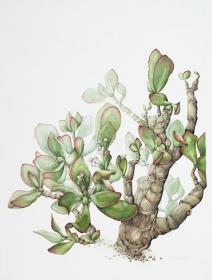 Crassula ovata, Shirley Slocock, 2009