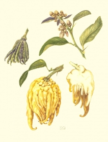 Citrus medica 'Sarcodactylus', Sheila Clarke, 2009