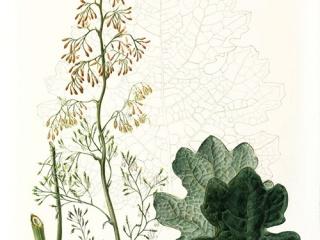 Macleaya microcarpa, Helen Allen, 2009