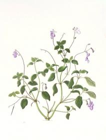 Streptocarpus saxorum, Maggie Hatherley-Champ, 2010