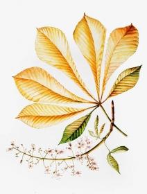 Aesculus hippocastanum 'Hampton Court Gold', Maggie Cartmell, 2005