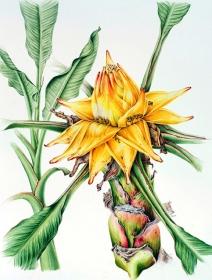 Musella lasiocarpa, Annie Patterson, 2010