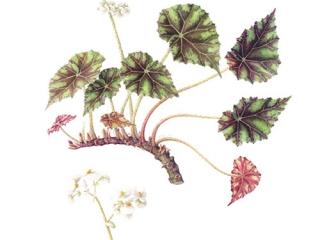 Begonia bowerae, Sara Bedford, 2010