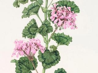 Pelargonium 'Stadt Bern' (lilac), Beth Phillip, 2010