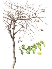 Paliurus spina-christi, Leigh Ann Gale, 2010