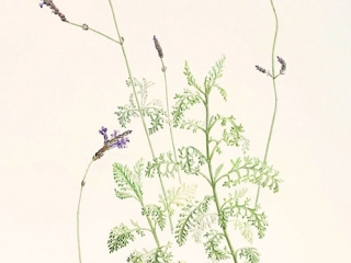 Lavandula canariensis, Judith Golder, 2010