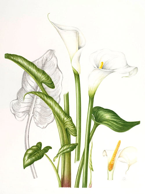 Zantedeschia aethiopica, Shirley Richards, 2010