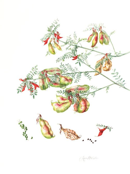 Sutherlandia frutescens, Jenny Malcolm, 2010