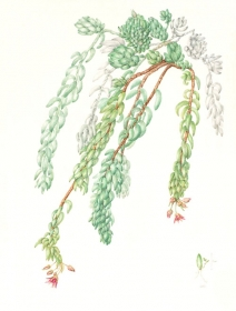 Sedum morganianum, Carolyn Dimond, 2010