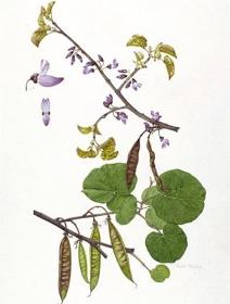 Cercis siliquastrum, Beth Phillip, 2011