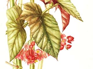 Begonia x argenteoguttata, Jackie Copeman, 2011