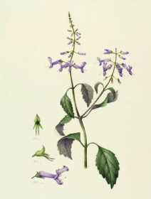 Plectranthus zuluensis 'Symphony', Lesley Ann Sandbach, 2011