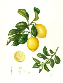 Citrus limon 'Meyer', Shirley Richards, 2011