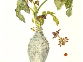 Jatropha podagrica, Sheila Clarke, 2011