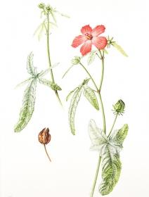 Abelmoschus moschatus, Sara Bedford, 2015