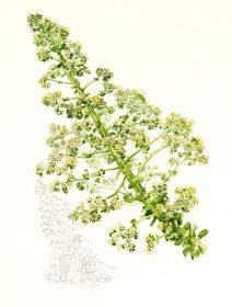 Aeonium canariense, Kay Bird, 2012