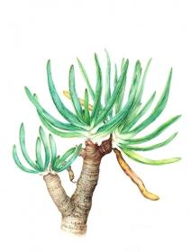Aloe plicatilis, Jenny Malcolm, 2012