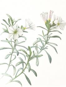 Convolvulus cneorum, Sara Bedford, 2009