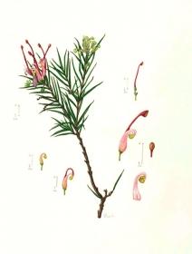Grevillea juniperina, Lizabeth Leech, 2012